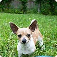 Adopt A Pet :: Sugar - Puppy - Dallas, TX