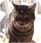 Domestic Shorthair Cat for adoption in El Cajon, California - Romeo