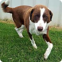 Adopt A Pet :: Bella - Manhasset, NY
