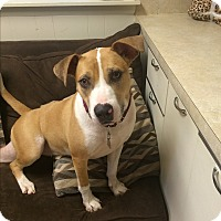 Adopt A Pet :: Diamond in CT - Manchester, CT