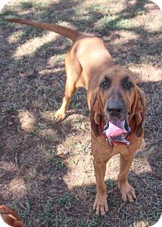 Bloodhound Dog for adoption in Austin, Texas - Dixie