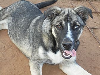 Husky/German Shepherd Dog Mix Puppy for adoption in Anton, Texas - Critter