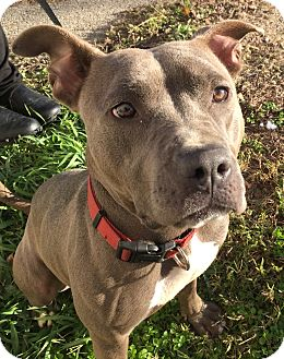 American Pit Bull Terrier Mix Dog for adoption in Joliet, Illinois - Gracie