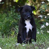 Adopt A Pet :: Boomer - Groton, MA