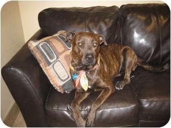 American Pit Bull Terrier/Catahoula Leopard Dog Mix Dog for adoption in phoenix, Arizona - Amelia