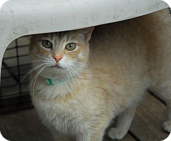 Domestic Shorthair Cat for adoption in Lunenburg, Massachusetts - Morgan