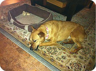 Blue Heeler Mix Dog for adoption in Bellingham, Washington - Little Bit