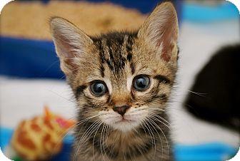Domestic Shorthair Kitten for adoption in Trevose, Pennsylvania - Tibby