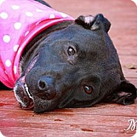 Adopt A Pet :: Morgan the waterdog - Albany, NY