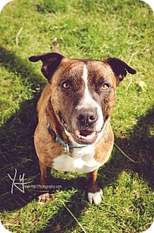 Pit Bull Terrier Mix Dog for adoption in Portland, Oregon - Hero (foster)