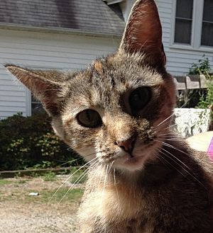 Domestic Shorthair Cat for adoption in Salisbury, North Carolina - Dora