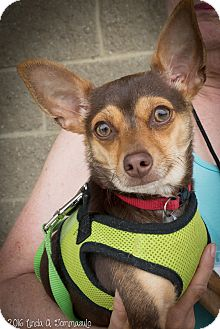 Chihuahua Mix Dog for adoption in Loudonville, New York - Cinnamon