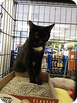 Domestic Shorthair Cat for adoption in Avon, Ohio - Augusta