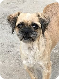 Brussels Griffon Mix Dog for adoption in Rancho Santa Fe, California - Monkey