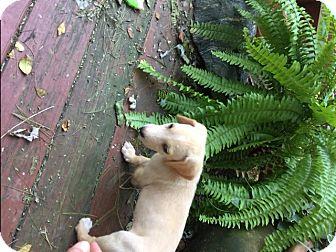 Hound (Unknown Type) Mix Puppy for adoption in Richmond, Virginia - Jeff