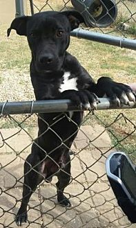 Labrador Retriever/Bulldog Mix Puppy for adoption in Centerville, Georgia - Zaxby
