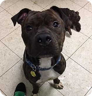 Terrier (Unknown Type, Medium)/American Pit Bull Terrier Mix Dog for adoption in Fulton, Missouri - Pilgrim- Ohio