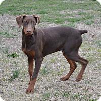 Adopt A Pet :: Talia - Westport, CT