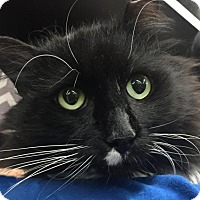 Adopt A Pet :: Gorgeous Fluffy! Stunning Maine Coon Mix Tuxedo - Brooklyn, NY