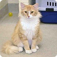Adopt A Pet :: BUTTERSCOTCH - Vero Beach, FL