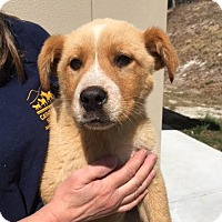 Adopt A Pet :: Tommy - Cashiers, NC