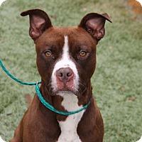 Pit Bull Terrier Mix Dog for adoption in Greensboro, North Carolina - Pierce