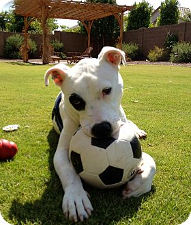 American Bulldog Mix Dog for adoption in Phoenix, Arizona - RIO