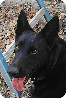 German Shepherd Dog Dog for adoption in SAN ANTONIO, Texas - CLAUS / HOLLY