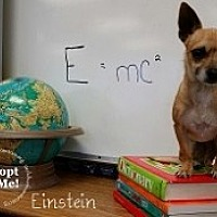 Chihuahua Mix Dog for adoption in Mesa, Arizona - Einstein