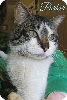 Domestic Shorthair Cat for adoption in Menomonie, Wisconsin - Parker