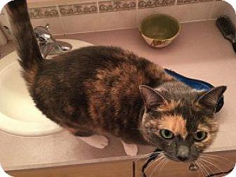 Calico Cat for adoption in Wasilla, Alaska - Sahara