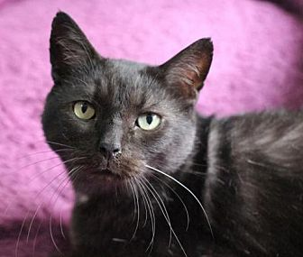 Domestic Shorthair Cat for adoption in Raleigh, North Carolina - Emory II