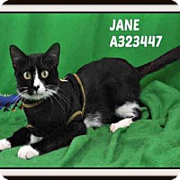 Domestic Mediumhair Cat for adoption in St. Peters, Missouri - JANE