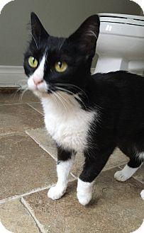 Domestic Shorthair Cat for adoption in Houston, Texas - Joelle