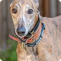 Adopt A Pet :: Andy - Walnut Creek, CA