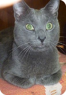 Domestic Shorthair Cat for adoption in Hamburg, New York - Anderson