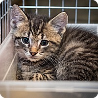 Adopt A Pet :: kitten - Westfield, MA
