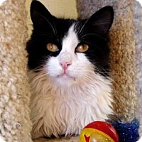Domestic Mediumhair Cat for adoption in Mountain Center, California - Mildred