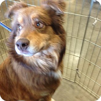 Australian Shepherd Mix Dog for adoption in Parker, Kansas - Rusty