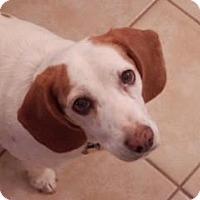 Adopt A Pet :: Clover Fay - Phoenix, AZ
