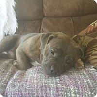 Adopt A Pet :: Leonidas (Leo) - bridgeport, CT