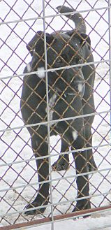 Labrador Retriever/Pit Bull Terrier Mix Dog for adoption in New Plymouth, Idaho - PUDGE