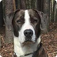 Adopt A Pet :: Blue - Brattleboro, VT