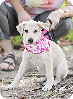 Labrador Retriever/Chihuahua Mix Puppy for adoption in Portland, Oregon - Susanna