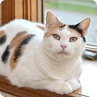 Domestic Shorthair Cat for adoption in Wauconda, Illinois - Primrose