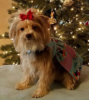 Yorkie, Yorkshire Terrier Mix Dog for adoption in Los Angeles, California - Ethel