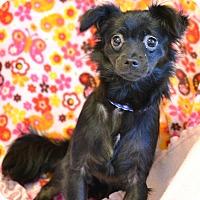 Adopt A Pet :: Viola - Southington, CT