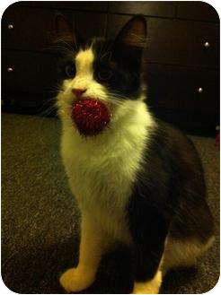 Domestic Shorthair Cat for adoption in Los Angeles, California - Holly