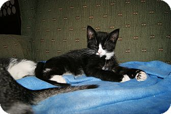 Domestic Shorthair Kitten for adoption in Trevose, Pennsylvania - Merlin