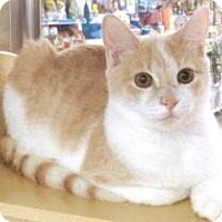 Adopt A Pet :: Creamsicle - Miami, FL